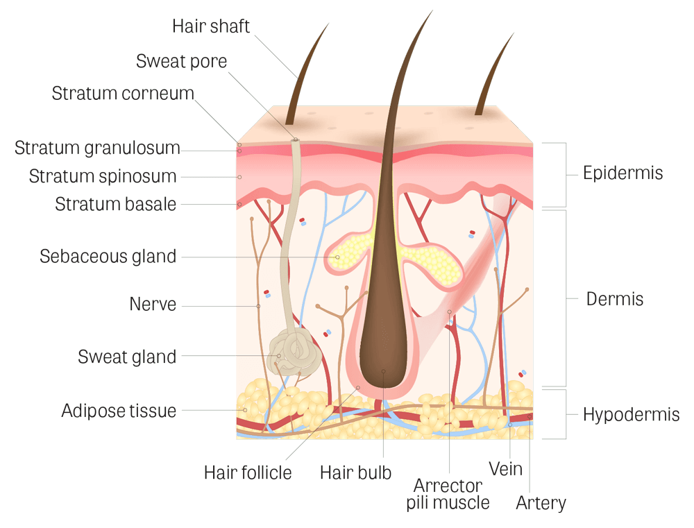 scalp-structure